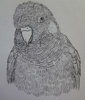Grey-breasted Conure by Cuthillius