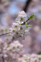 Cherry Blossoms 3 by CASPER1830