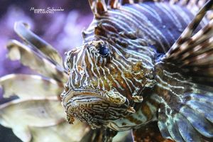 Red Lionfish by MorganeS-Photographe