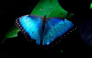 Blue Butterfly by Pawlu22
