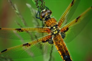 Dragonfly by MaximeDaviron
