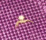 CrabSpider1 by LadyCharis