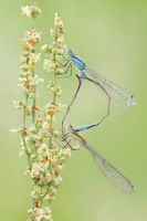 Damselflies by bua89