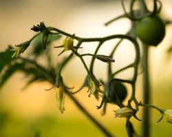 Tomato Flowers by ProjectDarkling