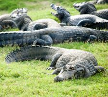 Alligators by baltasouza