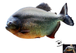 Cut-out stock PNG 79 - piranha by Momotte2stocks
