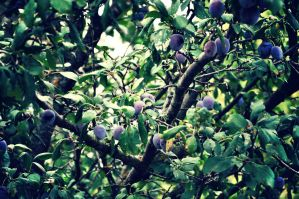 plums by Plakitina