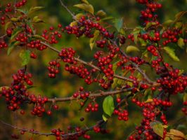 RED BERRIES by PUBLIC-DOMAIN-PICS