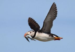 Lunch for the kids- Atlantic Puffin by Jamie-MacArthur