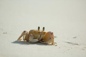 Sand Crab by turlough