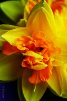 Daffodil close up by Yoonett