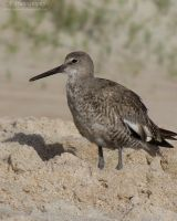 Willet 677 by caybeach