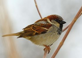 Sparrow on a cold morning. by nolra