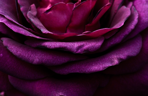 Layers On a Rose by Lonewolf-Eyes