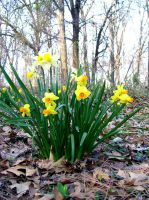 daffodils 6 by turtledove-stock