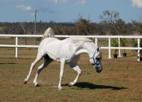 GE Arab white trot frontside view by Chunga-Stock