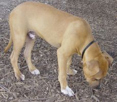 American Staffordshire Terrier by FantasyStock