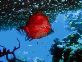 grouper under a coral by MotHaiBaPhoto