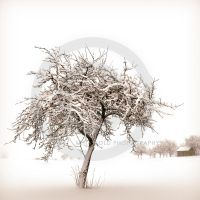 Wintertree by Finvara