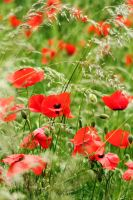 Red Poppies by inf23