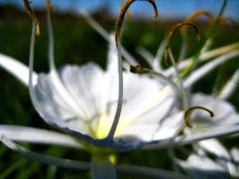Spider's Lily by simfonic