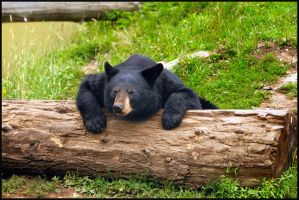 black bear 2 by RichardRobert