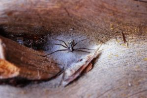 Spider by pekauppi