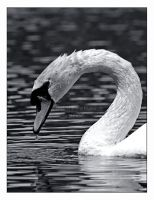 Swan on the Death Pond by Goodbye-kitty975