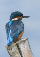 Distant Gaze - Kingfisher (female) by Jamie-MacArthur