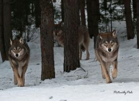 The New generation Wolves by PictureByPali