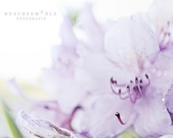 Soft Beauty by buschermoehle-photo
