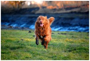 Colorful Toller by KonikPolski