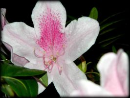 White and Pink Flower by SirenSeaQueen