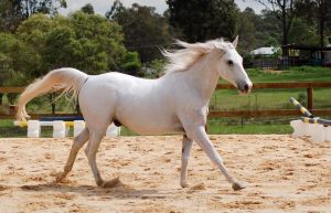 Arab soft canter side on by Chunga-Stock