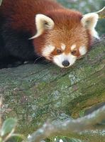 Red Panda by Elfster