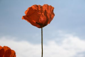 Amapolas 01 by SuperStar-Stock