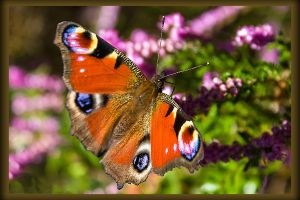 butterfly7 by hubert61