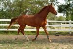 stock warmblood by HollyChaotic-Stock
