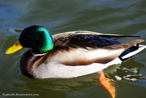 Wet faced mallard by Riphath