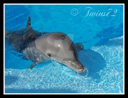 Dolphin by Twins72