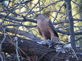 Cooper's Hawk and Lunch by EuTytoAlba
