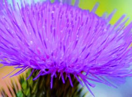 Thistle Flower (Stock) by sioranth