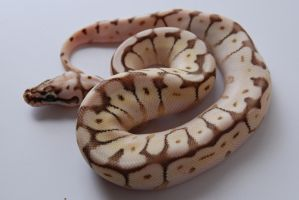 Baby Ball Python 9 by FearBeforeValor