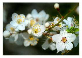 plum blossom by bracketting94
