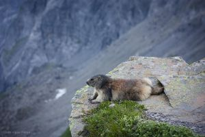 Pensive marmot by dominique-merot