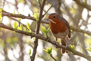 Robin 02 by LydiardWildlife