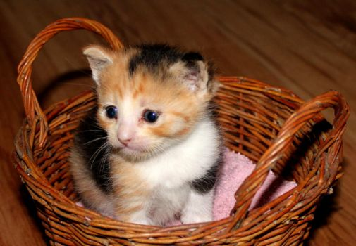 Kitten in the basket by SpiritMountain