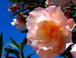Double Peachy Oleander flower by floramelitensis
