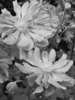 Flowers in Black and White by Samela7
