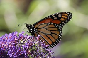 Monarch 005 by SamesPhoto